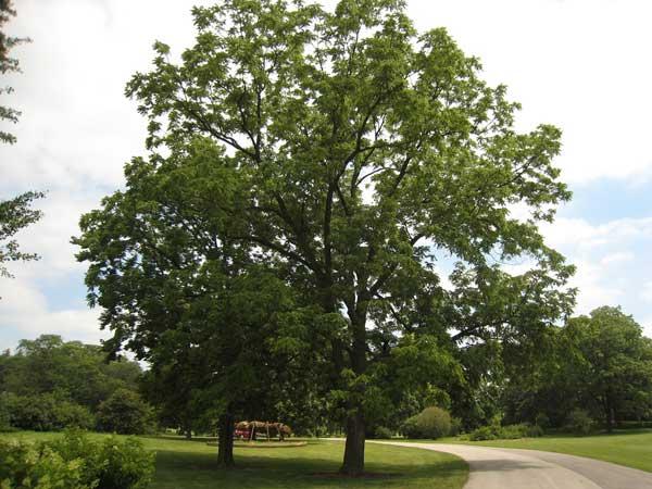 cây gỗ óc chó walnut