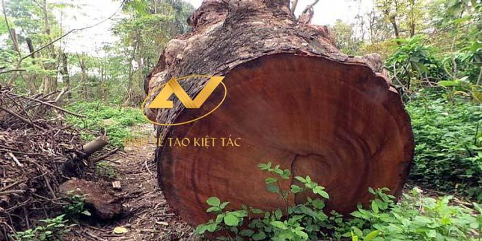 gỗ óc chó xẻ cây được lấy từ vùng núi phía Bắc